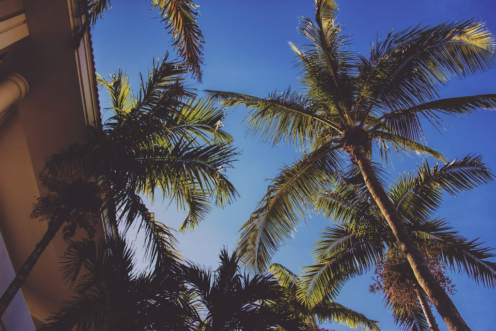 Palm trees in Naples FL